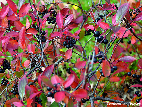 And a seasonal and visual change: black chokeberry in the fall (Used with permission by Bernard L. Schwartz)