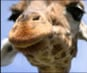 Video of Giraffes