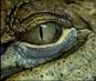 Video of Crocodiles