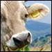 Carne Clonata con Latte?