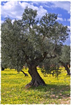 עץ זית עתיק בגליל