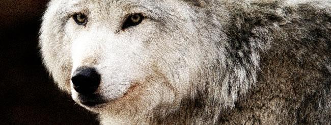 Gedanken: Ein Schaf im Wolfsgewand
