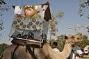 Sukkah on a Camel 2010