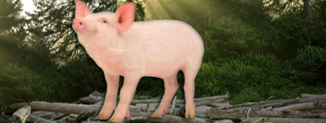 The Lubavitcher Rebbe on Moshiach and Redemption: Permitting the Pig