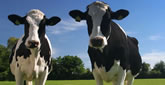 Las Siete Vacas Gordas