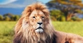 Balak - Löwe und Löwin