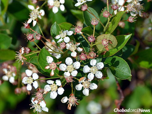 Black chokeberry flowering in the spring (Used with permission by Bernard L. Schwartz)