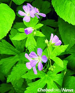 Wild geranium (Used with permission by Bernard L. Schwartz)