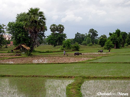 Rice paddy fields in Laos. While cities like Vientiane, the capital, and Luang Prabang, where the Chabad House can be found, are rapidly developing, parts of the countryside remain pastoral. (Photo: Wikimedia Commons)