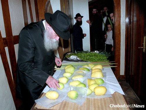The Rebbe—Rabbi Menachem M. Schneerson, of righteous memory—chooses a Calabria etrog on the eve of Sukkot (Oct. 3, 1990). Since the founding of the Chabad-Lubavitch movement, Chabad rebbes have done all they could to obtain etrogs from Calabria for the holiday. (Photo: JEM/The Living Archive)