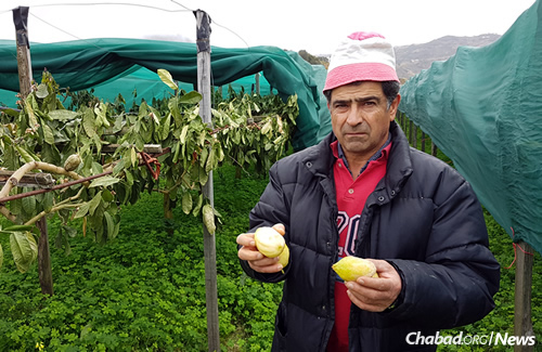 A farmer holds up damaged citrons in northern Calabria, Italy, where etrogs have been harvested for thousands of years. (Photo: Luigi Salsini)