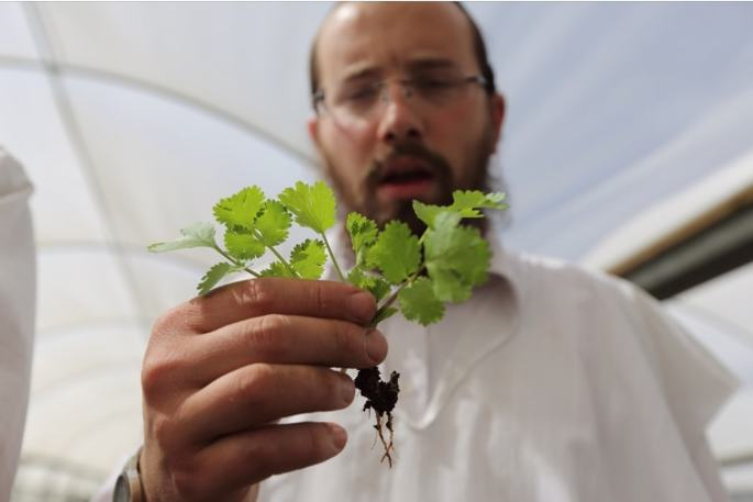 A mashgiach inspects for bugs in leafy greens. Photo: Yaakov Naumi/FLASH90