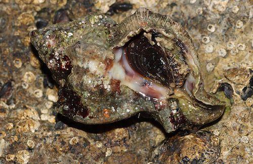 A murex snail (Credit: H. Krisp/Wiki)