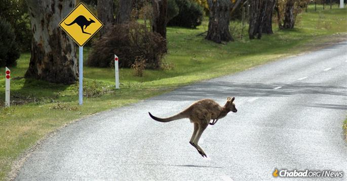 Kangaroos can be a dangerous presence along Australia's highways, as one rabinnical student discovered.