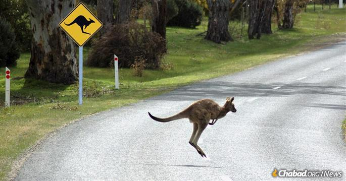 Kangaroos can be a dangerous presence along Australia's highways, as one rabinnical student discovered. (Photo: Mendel Super)