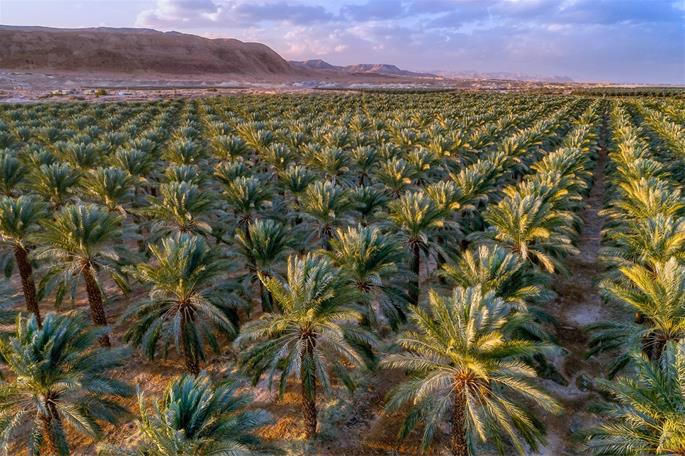 A cash crop even today, in antiquity date palms provided food, shelter, shade, medicine—and became a symbol of Judea.