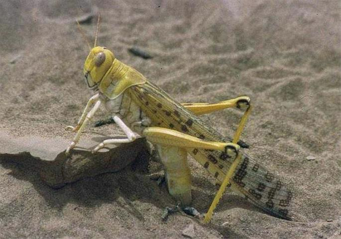 A desert locust (Schistocerca gregaria) laying eggs during the 1994 locust outbreak in Mauritania (photographed by Christiaan Kooyman).