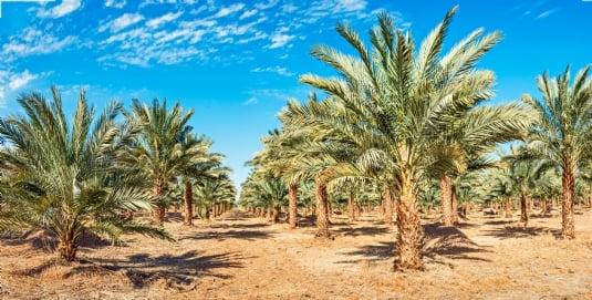 Canva - Plantation of date palms.jpg