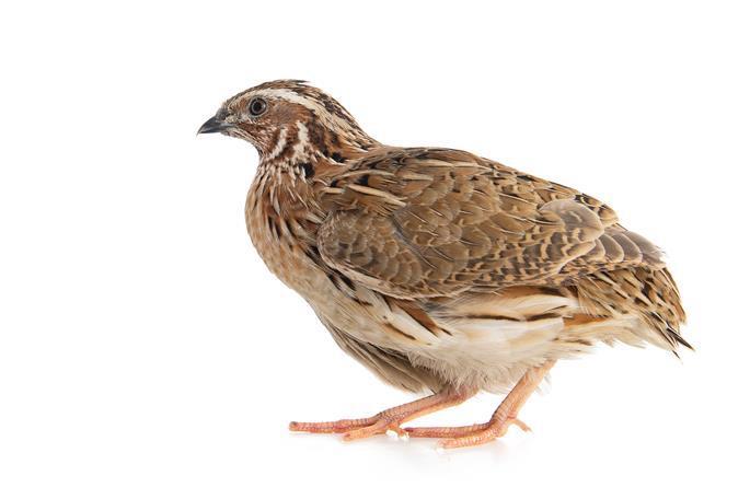 File photo of the coturnix quail.