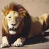 Балак: и лежащий лев остается львом