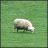 מהפכת הרועים