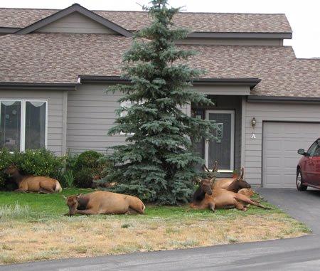 האיילים הקנדיים על הדשא (לפני הבריחה)