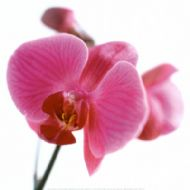 @ARE172~Pink-Orchid-Posters.jpg