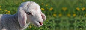 The Lamb of Unity