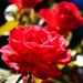 The Resplendent Rose