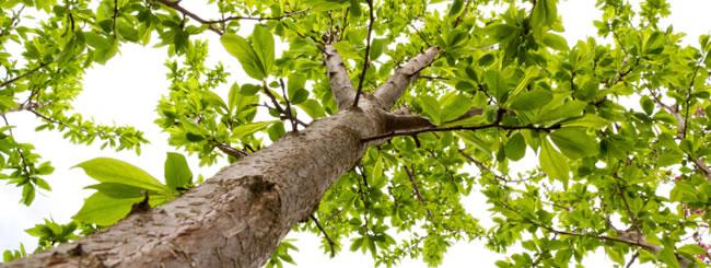 Ist es erlaubt einen Obstbaum zu fällen?