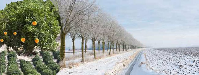 Mystic Story: Tropical Oranges in a Russian Winter Orchard