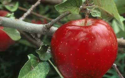 the apple king of the fruit nature s wonderland jewish kids on the outside it is a colorful fruit it comes in various colors from green to red to gold in taste an apple is tasty and juicy and has various tastes