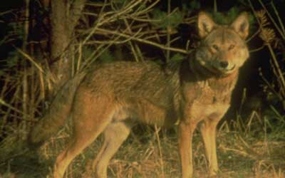 Very Rare Sea Animals The American Red Wolf ...