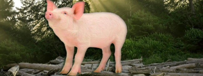 Weekly Torah Reading: Permitting the Pig
