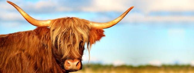 Récits du Midrash: La vache qui respectait le Chabbat