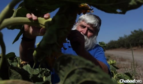 Farmer Zev Steiglitz at work. (Photo: Yaakov Nahumi/Behadrey Haredim)