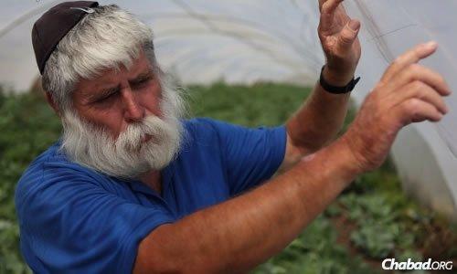 "This coming year will be Israeli farmer Zev Steiglitz's eighth ""shemittah,"" the sabbatical year for the fields of Israel. (Photo: Yaakov Nahumi/Behadrey Haredim)"