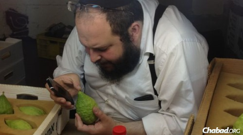 David Silberstein inspects each and every etrog to ensure quality.
