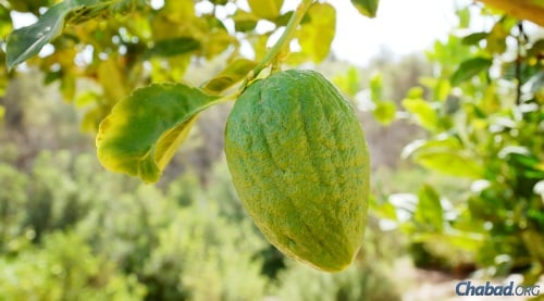 An etrog growing in Israel (file photo).