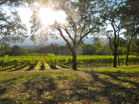 The_vineyard_-_b.r._cohn_vineyards,_sonoma,_california_(2011).jpg